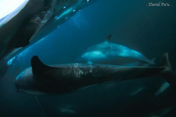Pacific Common Dolphins, Santa Barbara, by David Pu'u