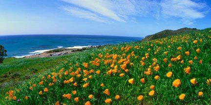 California Poppies by David Pu'u